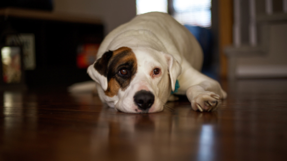 Close-up of a dog lying down on a wood floor.